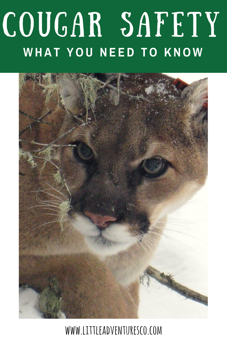 Cougar safety: This is what you need to know!